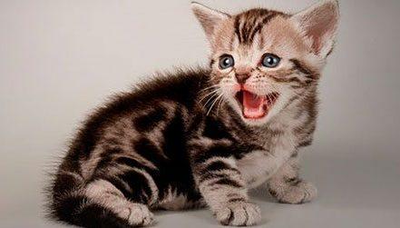 sonido de gato